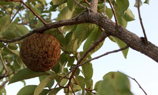 O Araticum (Annona crassifolia) fruto do Cerrado