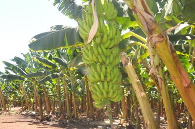 Produção de banana no projeto Manuel Alves
