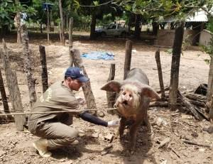 Inquérito sobre a Peste Suína Clássica termina nesta terça-feira no Tocantins