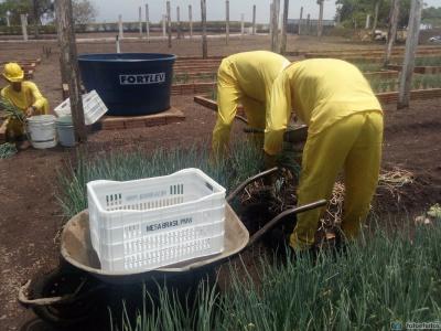 Reeducandos da CPP de Palmas cultivam hortaliças que abastecem entidades filantrópicas da capital