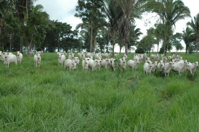 O gado é a segunda renda da economia tocantinense