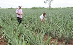 A produção de abacaxi é uma das atividades produtivas no Tocantins