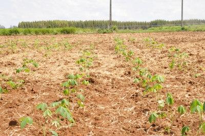 O produtor faz monitoramento no plantio da mandioca