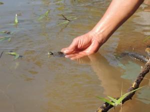 Filhote de tartaruga-da-amazônia (Podocnemis expansa)_Crédito Henrique Abreu