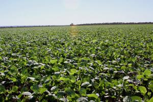 Sojicultores têm até 22 de janeiro para cadastrar áreas de cultivos de soja