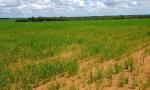 Unidades  terão como finalidade difundir a tecnologia do manejo do arroz consorciado ao capim forrageiro para formação e recuperação de pastagem