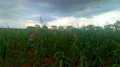 O milho foi plantado em novembro pelas reeducandas, que também são responsáveis por realizar todo o trabalho, do plantio a colheita.