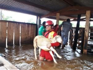 Bombeiros militar tira animais de área alagada em Araguatins