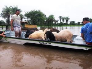 Barco retira pertences e animais de chácara alagada em Araguatins