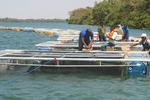 Trabalho aponta excelente resultado para produção da tilápia no Tocantins