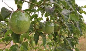 Produção de maracujá no Tocantins está sendo desenvolvida na região de Miracema e no projeto de irrigação Manoel Alves