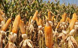 O milho é uma das cultura em destaque no estado