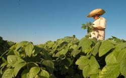 A Antracnose pode atacar as plantas de soja em todas as fases de desenvolvimento.