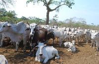 A estimativa é vacinar aproximadamente 100 mil bovinos de todas as faixas etárias, pertencentes a indígenas e produtores rurais