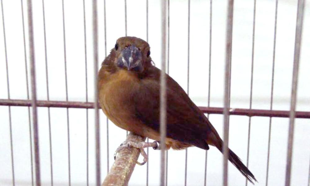 A renovação da licença de passeriformes no Tocantins deve ser solicitada por meio do Atendimento On-line do Naturatins - Foto Tiago Scapini-Governo do Tocantins.jpg