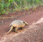 Fauna protegida garante a presença de animais, como o tatu-bolo
