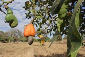 Dezenas de frutos do Cerrado são popularmente conhecidos, comercializados e comestíveis