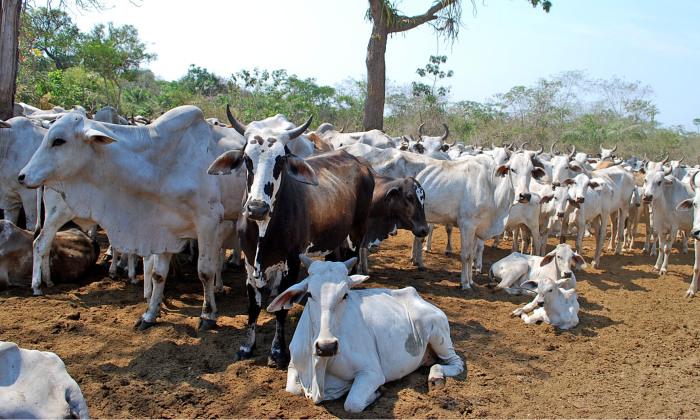Tocantins deve vacinar mais de 100 mil bovinos contra a febre aftosa na Ilha do Bananal até o dia 30 de setembro