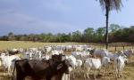 Avaliadas em R$ 100 mil, as 39 cabeças de gado foram localizadas em uma fazenda no município de Miracema do Tocantins