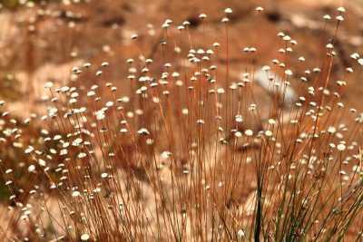 O Capim-dourado (Syngonanthus nitens) é uma planta herbácea da família Eriocaulaceae, que ocorre nos campos limpos úmidos