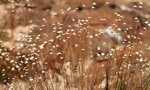Capim-dourado (Syngonanthus nitens) é uma planta herbácea da família Eriocaulaceae, que ocorre nos campos limpos úmidos
