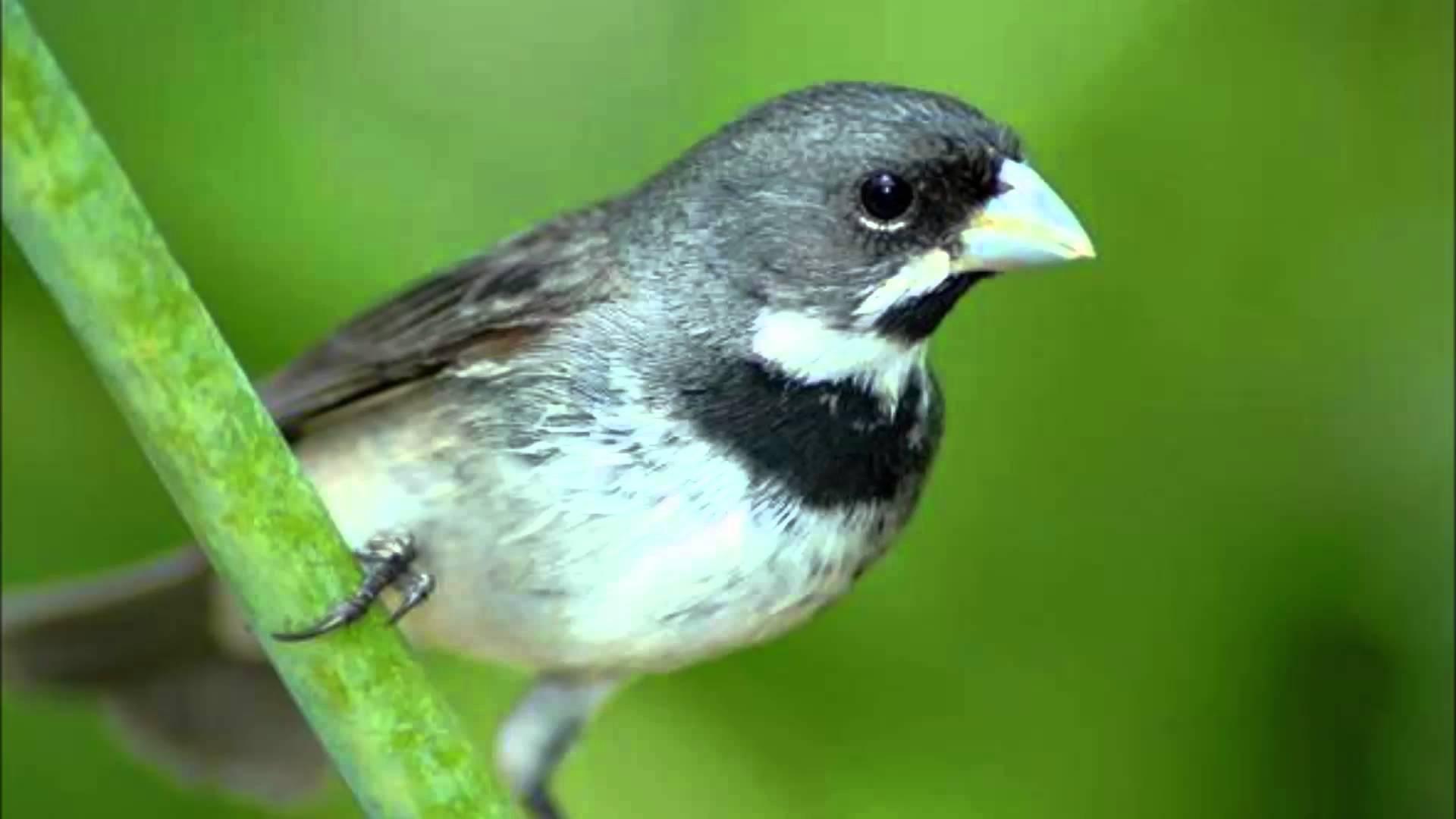 Foto1 Coleiro Papa-capim (Sporophila caerulescens)_Acervo AOPE.jpg
