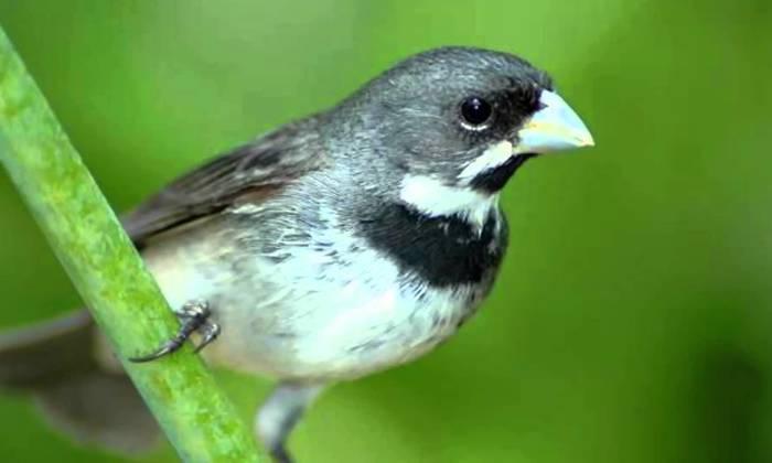 Foto1 Coleiro Papa-capim (Sporophila caerulescens)_Acervo AOPE_700x420.jpg