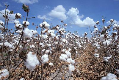 A produção de algodão no Tocantins desponta na produção agrícola