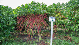 Café Robusta da Amazônia, variedade que pode ser cultivada em regiões de menores altitudes e com temperaturas mais elevadas.