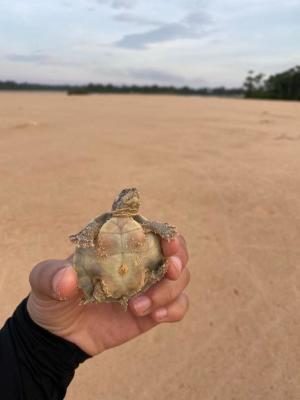 Filhotes são soltos nas águas do rio Araguaia e seus afluentes logo após o nascimento