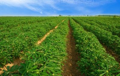 A produção de mandioca está nos 139 municípios tocantinenses