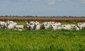 Produção integração lavoura, pecuária floresta é uma ação do plano ABC no Tocantins