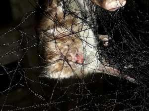 Morcego Hematófogo.jpeg