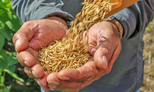 Projeto de Base rural apoiado pela Fapt, estuda as variedades de arroz produzidos do Tocantins