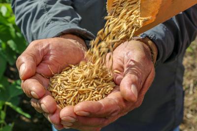 Foto 04 - Projeto de Base rural apoiado pela Fapt, estuda as variedades de arroz produzidos do To - Credito das imagens - Katriel Bernardes_400.jpg