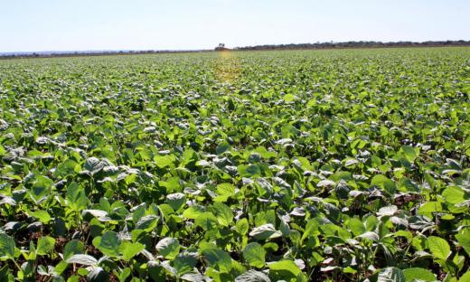 Janela de plantio da soja sequeiro encerra no próximo dia 15 de janeiro