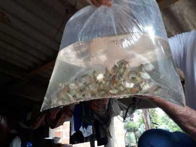 Cerca de  1.500 alevinos vão beneficiar Barraginhas situadas na região sudeste