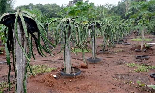 Na propriedade, área plantadas é de um hectare com 600 mourões de três pés em cada