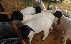 Criação de ovinos e caprinos no Tocantins