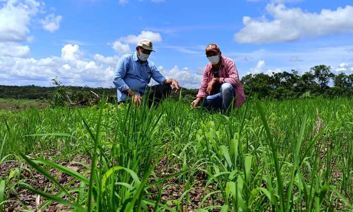 Na propriedade, o jovem agricultor, orientado pelo técnico do Ruraltins, investiu no cultivar de arroz de terras altas resistente a herbicida (BRS A501);