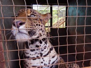 Animal recebeu tratamento odontológico para recuperação das presas