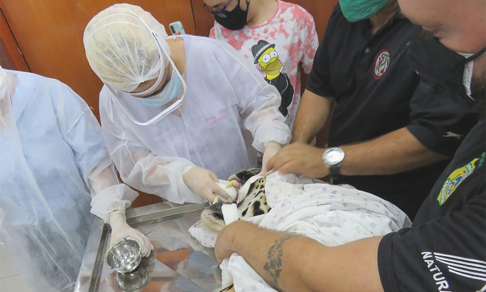 Animal recebeu tratamento odontológico para recuperação das presas - Naturatins/Governo do Tocantins