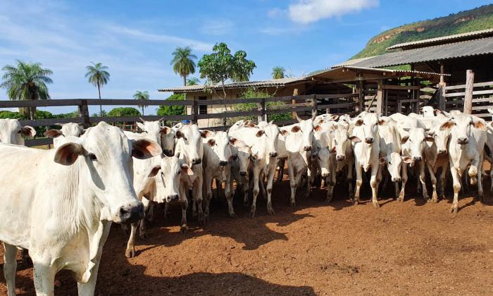 Nesta etapa deverão ser vacinados todos os bovídeos das propriedades