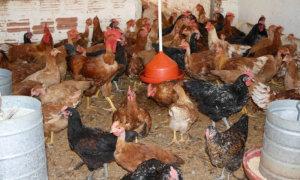 No Tocantins o  rebanho de aves é de mais de 7 milhões de cabeças.